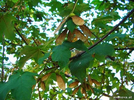 Ahornblätter und -Früchte, Foto (C) Avanova / flickr