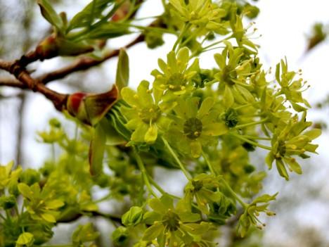Ahornblüten, Foto (C) Irmgard Brottrager