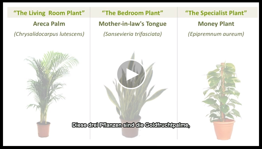 zimmerpflanzen die gr ne lunge der r ume everyday feng shui. Black Bedroom Furniture Sets. Home Design Ideas