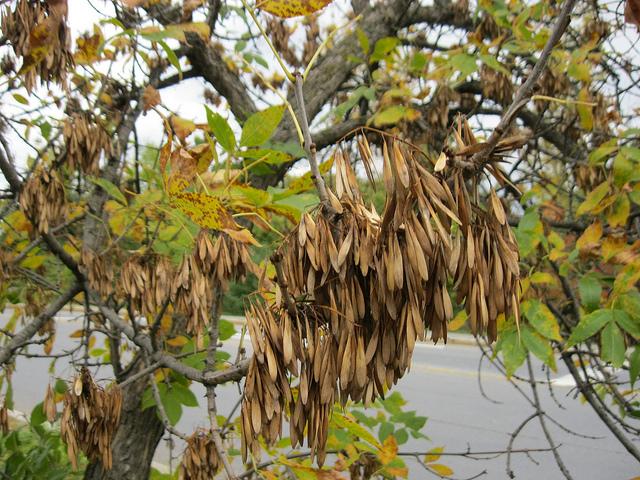 Der Eschen Baum Wesen Amp Spirituelle Bedeutung