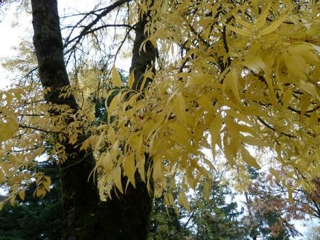Eschenblätter im Herbst, Foto (C) Wendy Cutler / flickr