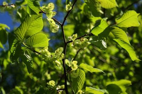 Blätter und Früchte der Ulme, Foto (C) Blondinrikard Fröberg / flickr