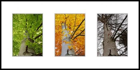 Buche im Jahreslauf, Foto (C) Siegfried Rabanser / flickr