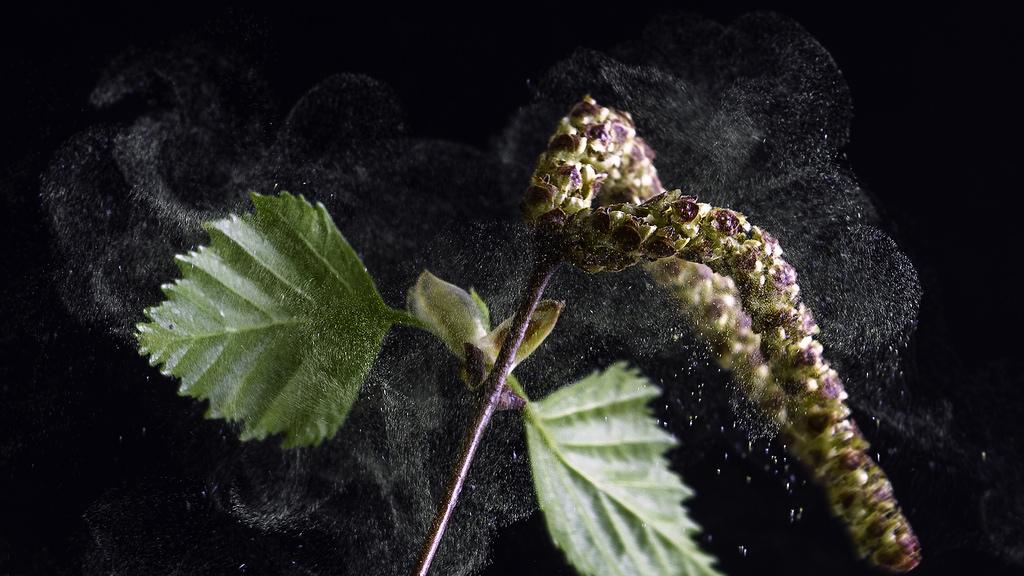 Birkenpollen machen Allergikern im Frühjahr das Leben schwer