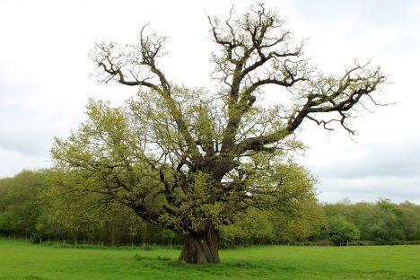 Eichenbaum auf freiem Feld