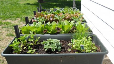 Gemüsebeet mieten auf Zeit: Auch ohne eigenen Garten kann man zum Selbstversorger werden