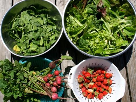 Die Mühe hat sich gelohnt: Gemüseernte im eigenen Garten mit Radieschen, Erdbeeren, Spinat und Schnittsalat