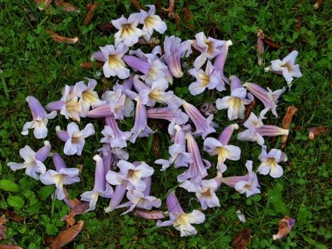 Blüten vom Blauglockenbaum, Foto (C) Roberto Verzo / flickr