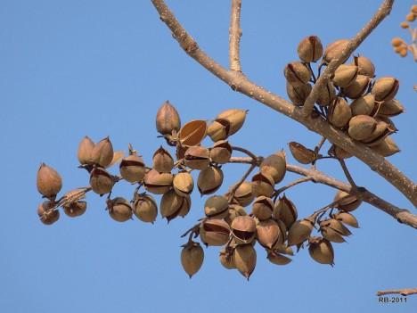 Früchte vom Blauglockenbaum-früchte, Foto (C) Roberto Verzo / flickr