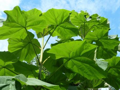 Blätter vom Blauglockenbaum, Foto (C) Wendy Cutler / flickr