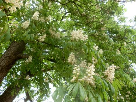 Rosskastanien-Blüten, Foto (C) Irmgard Brottrager