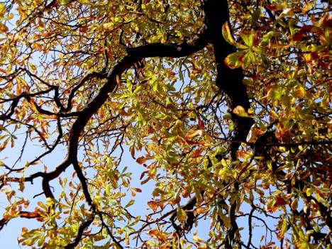 Rosskastanie im Herbst, Foto (C) Irmgard Brottrager