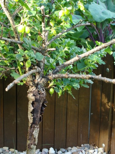 Meine Stachelbeere hat einen starken Überlebenswillen. Trotz des kaputten Stammes trägt sie weiter Früchte. Foto: © Hedwig Seipel