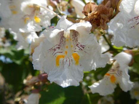 Trompetenbaum-Blüte, Foto (C) Michael Gras, M.Ed. / flickr
