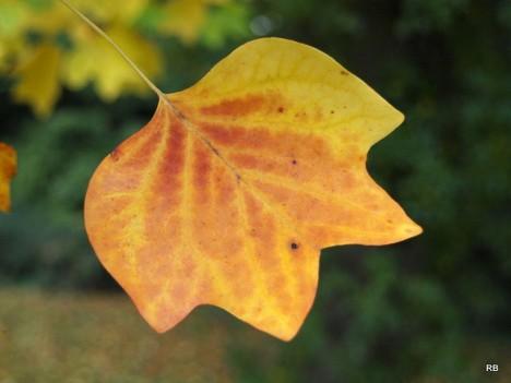 Tulpenbaum, Foto (C) Roberto Verzo / flickr