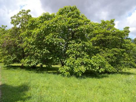 Zigarrenbaum Foto (C) weisserstier / flickr