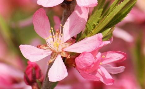 Mandelblüte, Foto (C) Maja Dumat / flickr
