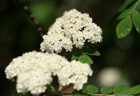 Ebereschenblüten, Foto (C) Andy / Andrew Fogg / flickr