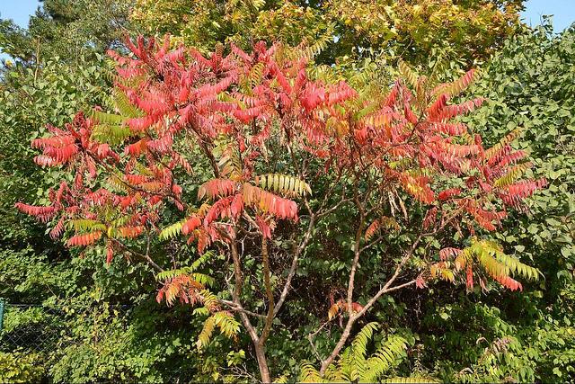 Der Essigbaum Wesen Und Bedeutung