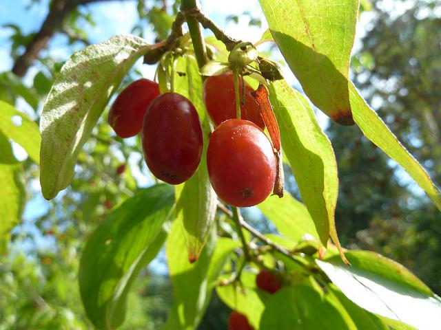 Der Kornelkirschen Baum Wesen Und Bedeutung