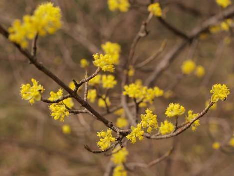 Kornelkirschen-Blüten, Foto (C) Roberto Verzo / flickr