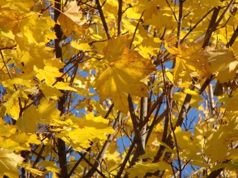 In der herbstlichen Natur finden Sie alle Gelbnuancen vor. Foto: © Hedwig Seipel