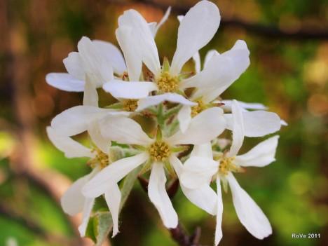 Felsenbirnen-Blüten, Foto (C) Roberto Verzo / flickr