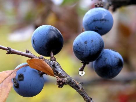 Schlehdorn-Früchte, Foto (C) Roberto Verzo / flickr
