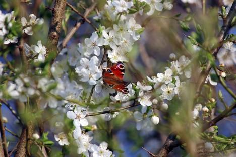 Schlehdorn-Blüten, Foto (C) netzroot / flickr