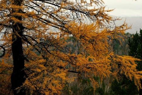 Lärche im Herbst, Foto (C) Andrey Pivovarov / flickr