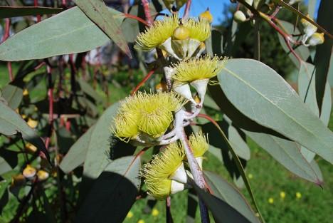 Eukalyptus-Blüten, Foto (C) Sydney Oats / flickr