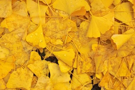 Ginkgo-Blätter, Foto (C) waferboard / flickr