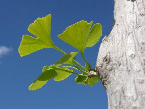 Ginkgo-Blätter, frisch ausgetrieben