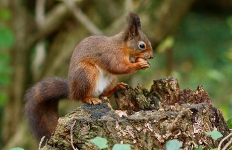 Eichhörnchen, Foto (C) Peter Trimming / flickr