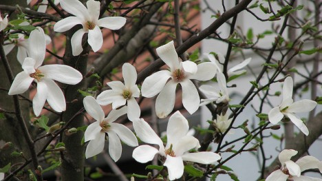 Weiße Magnolie, Foto (C) Cristian Bortes / flickr