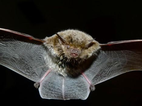 Fledermäuse nutzen Ultraschall für die Orientierung und bei der Jagd