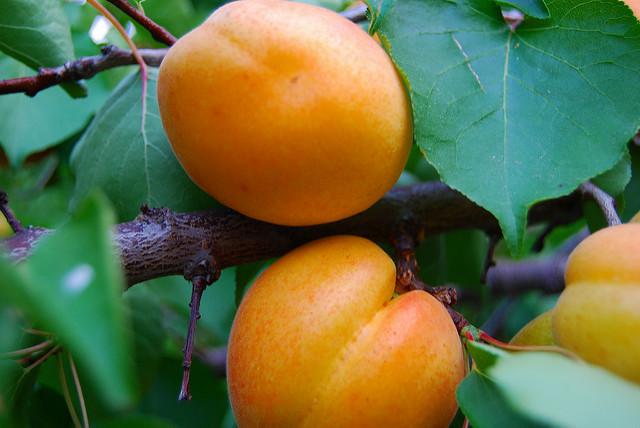 Der Aprikosenbaum Wesen Und Bedeutung