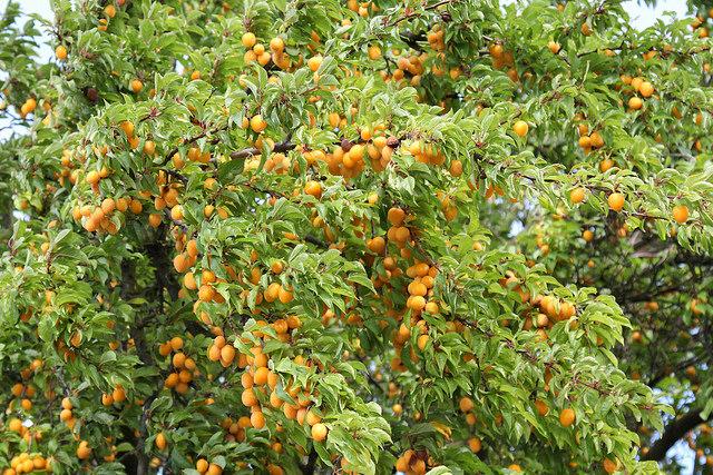 Der mirabellenbaum wesen und bedeutung - Taille des pruniers mirabelles ...