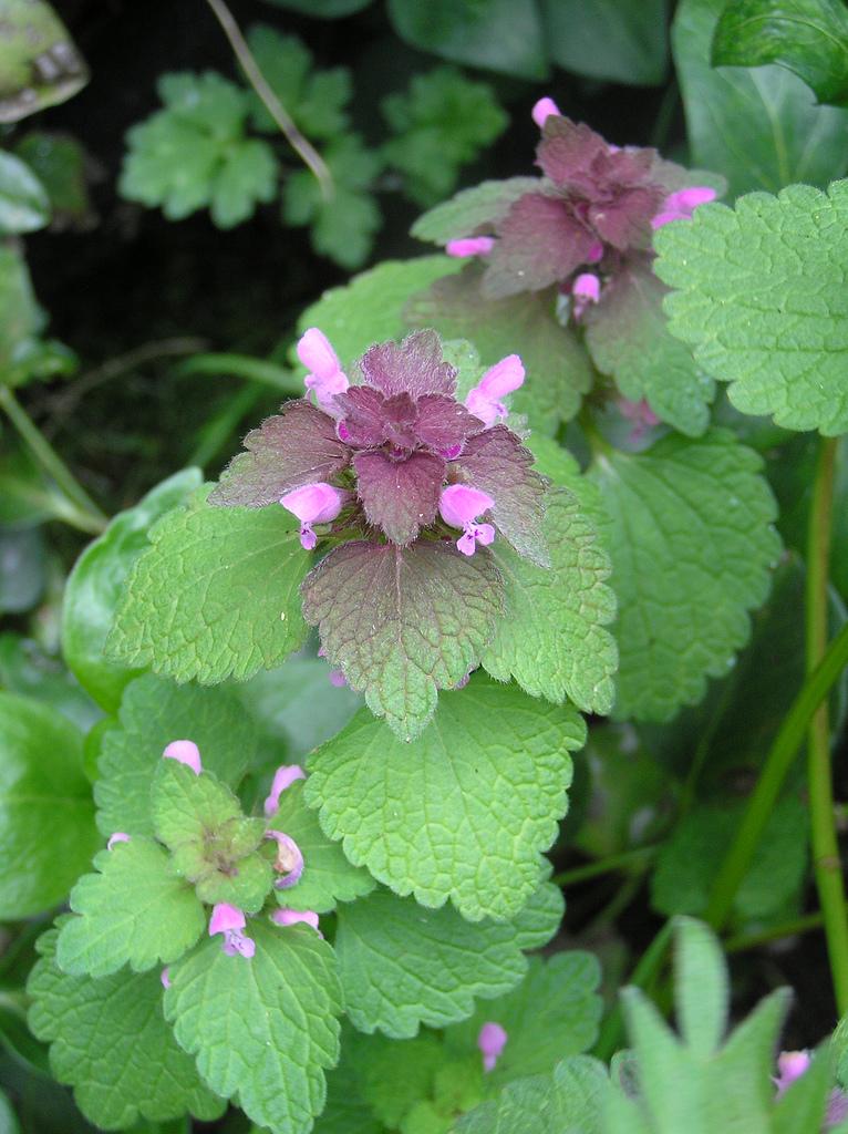 Taubnessel (Lamium): Auch ihre Blüten sind essbar