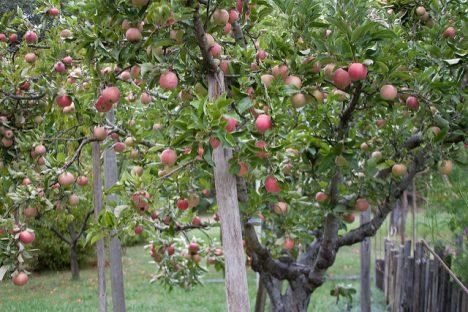 Apfelbaum, Foto (C) Brad Greenlee / flickr