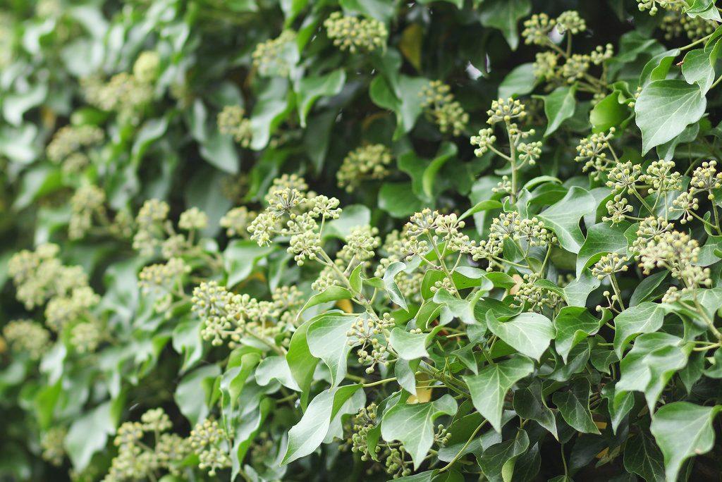 Efeu Blüten