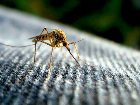 Mücke beim Versuch durch eine Jeanshose hindurchzustechen
