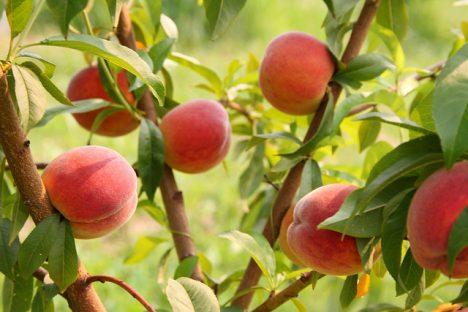 Pfirsiche am Baum, Foto (C) Rosalee Yagihara / flickr