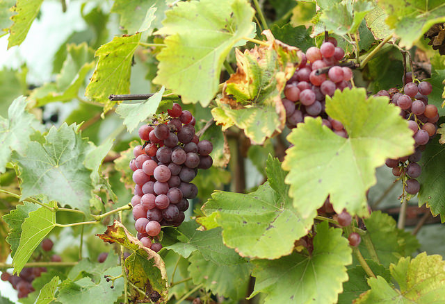 Weintrauben am Stock, Foto (C) Maja Dumat / flickr