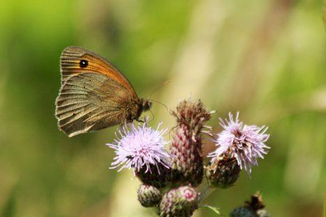Aufgrund ihrer Empfindlichkeit gelten Schmetterlinge wie das Kleine Ochsenauge als Bioindikatoren für Umweltveränderungen
