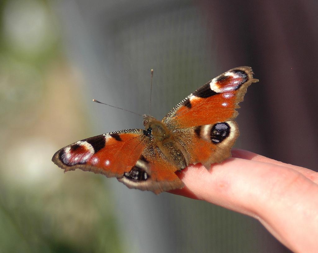 Immer seltener anzutreffen: Schmetterlinge wie das Tagpfauenauge