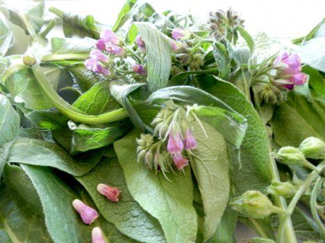 Aus Beinwell-Blüten und Blättern lässt sich Tee brauen. Besonders wirksam ist das Pulver der langen Wurzeln. Foto (C) Irmgard Brottrager