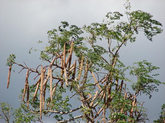Moringa-Schoten, Foto (C) Forest and Kim Starr / flickr