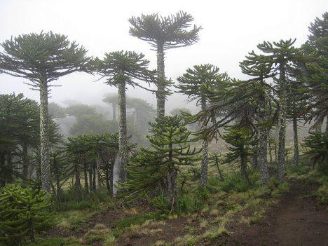 "Wald mit ""Monkey-Puzzle-Trees"", Foto (C) Anselm Hook / flickr"