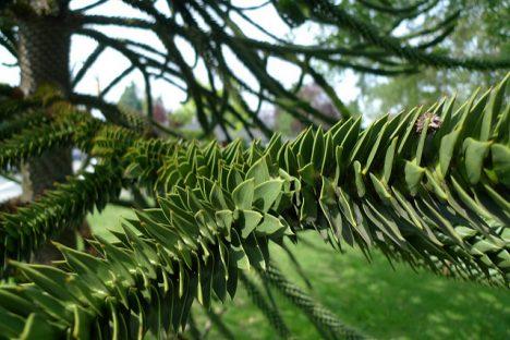 Die Äste vom Affenschwanzbaum, Foto (C) Jason V / flickr